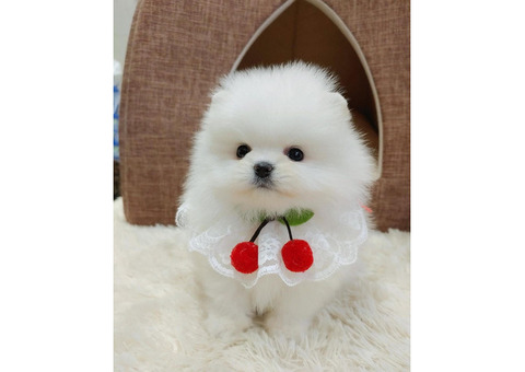 Super Cute Tini Mini Pomeranian Puppies For Sale