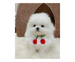Super Cute Tini Mini Pomeranian Puppies For Sale