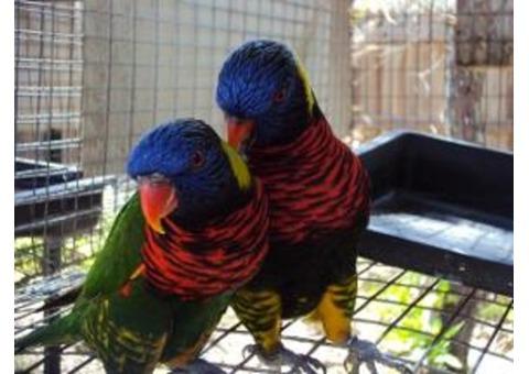 two Rainbow Lorikeets needs a home