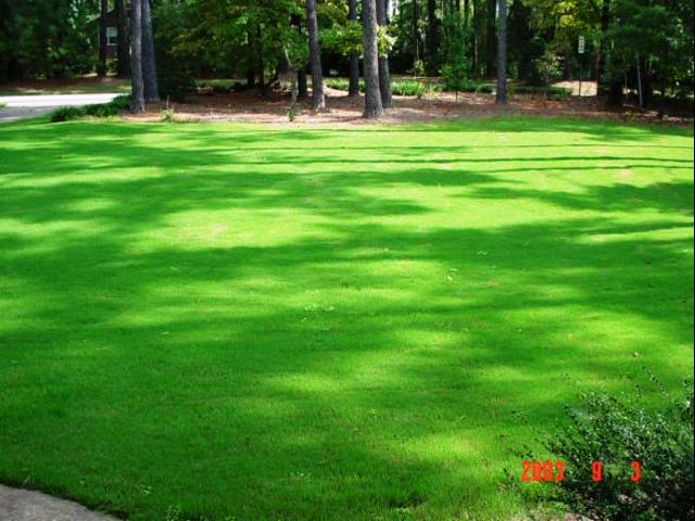 native bermuda grass www imgarcade com online image