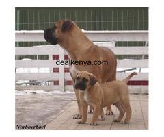 Boerboel 6months Puppy on sale