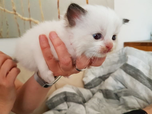 Beautiful Pure Bred Persian Kitten for sale