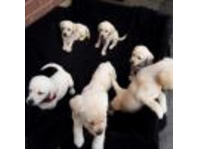 Chocolate Labrador Puppies For Sale