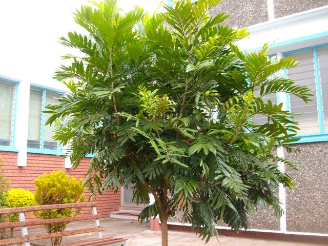 Thika palms