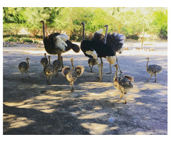 Ostrich chicks & ostrich fertile eggs for sale whatsapp +27734531381