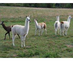Young, adult & pregnant llamas For Sale whatsapp +27734531381