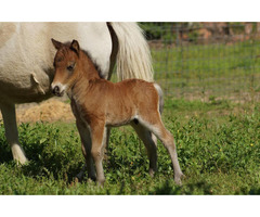 Several miniature horses and other breeds for sale whatsapp +27734531381