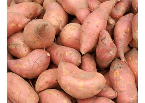 Sweet Potatoes Supply and Plants